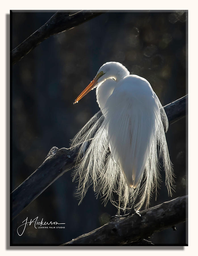 Back Lit Egret by John Nickerson