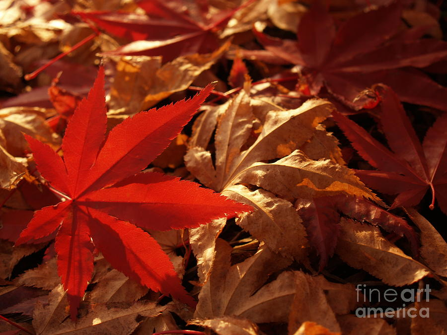 Leaf Photograph - Back-lit Japanese Maple Leaf On Dried Leaves by Anna Lisa Yoder