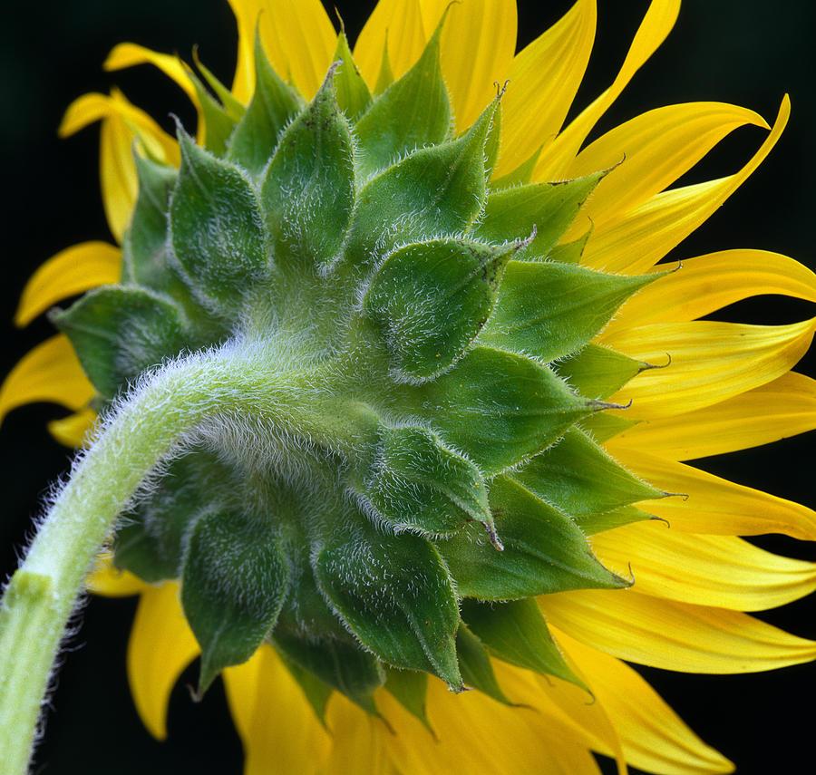 Sunflower Photograph - Back Of Sunflower by Bob Neiman