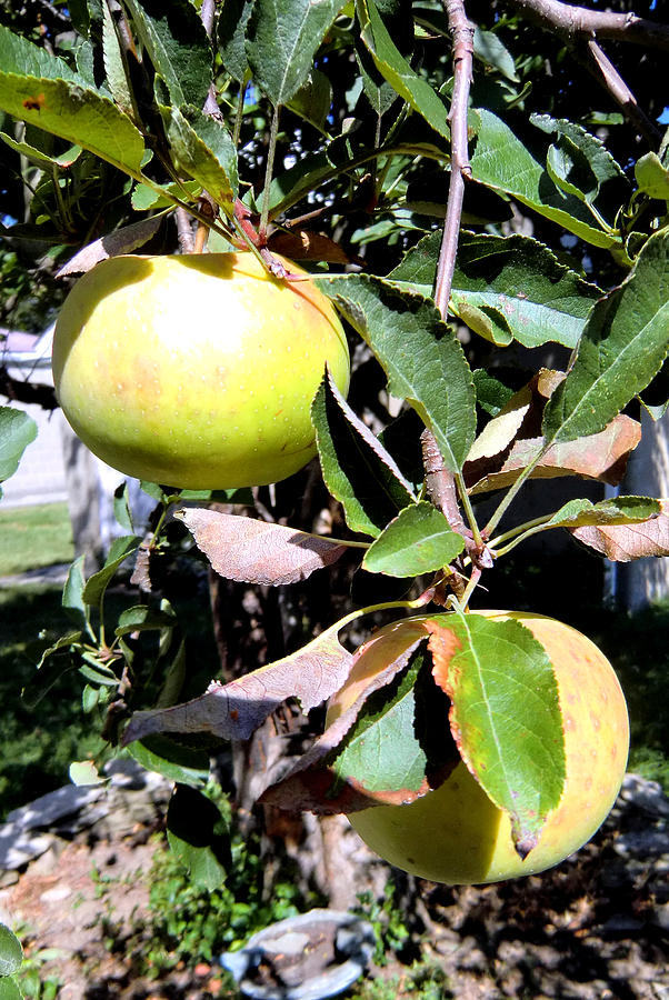 Photograph Photograph - Back Yard Apples by Mindy Newman