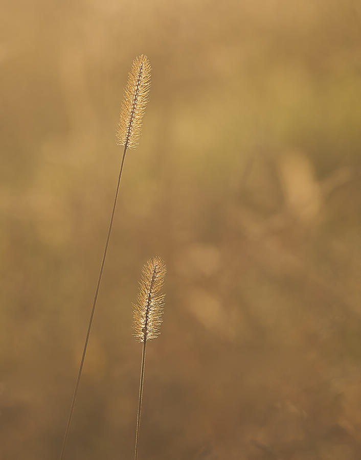 Backlight Photograph - Backlight Grass Stalks by Barry Culling