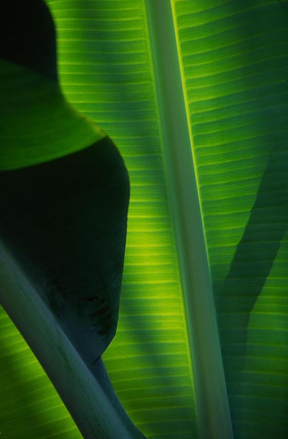 Banana Leaf Photograph - Backlit Banana Leaves by Bob Coates