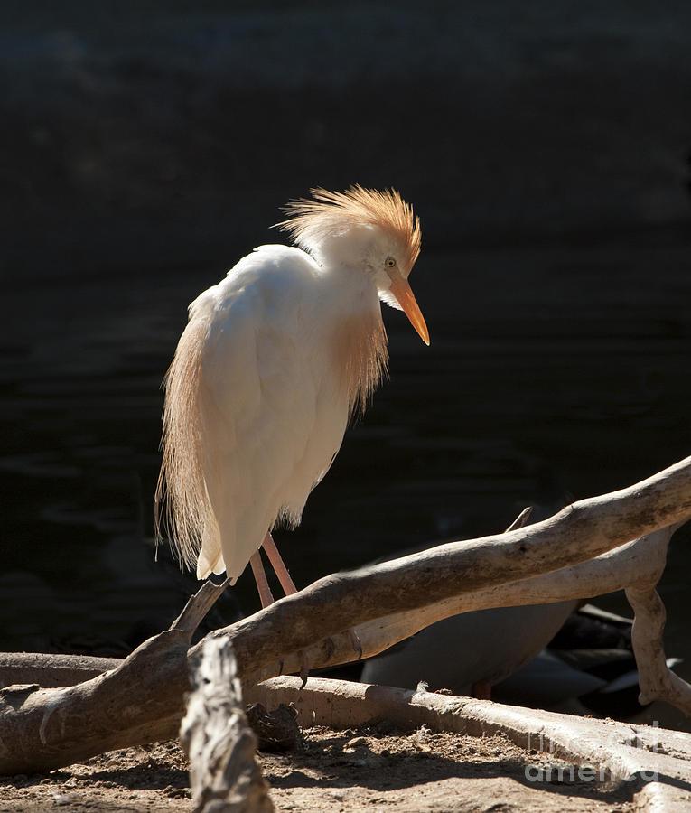 Bird Photograph - Backlit Egret by Sandra Bronstein