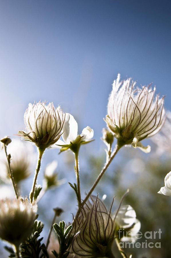 Backlit Photograph - Backlit Fuzzy Flower by Ray Laskowitz - Printscapes