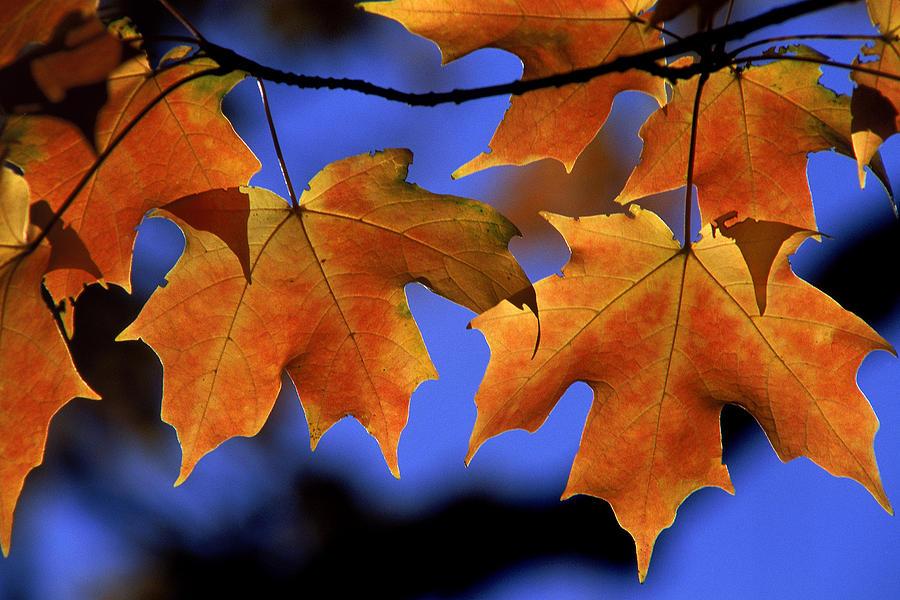 Leaf Photograph - Backlit Maple Leaves by Paul Pobiak