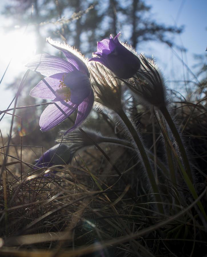 Alaska Photograph - Backlit Pasque Flowers by Ian Johnson