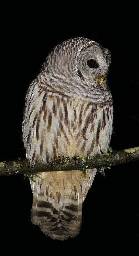 Backyard Barred Owl Photograph by Stacie Gary