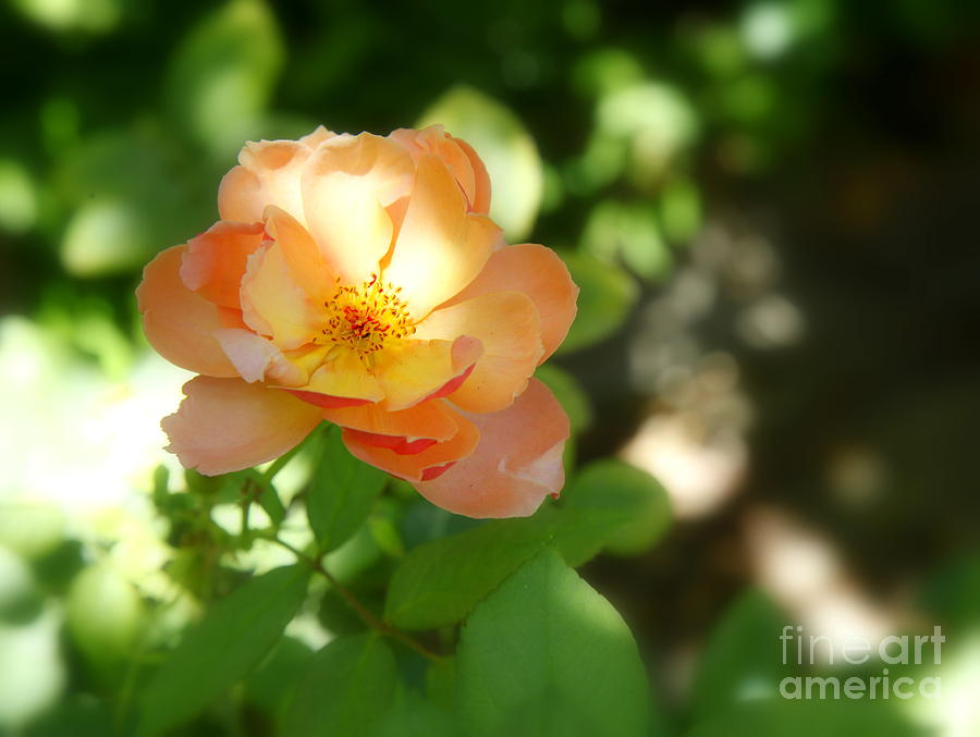 Rose Photograph - Backyard Boogie by Kip Krause