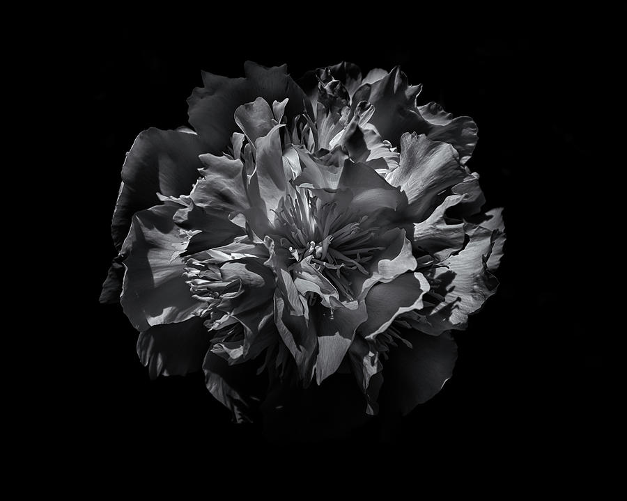 Brian Carson Photograph - Backyard Flowers In Black And White 25 by Brian Carson