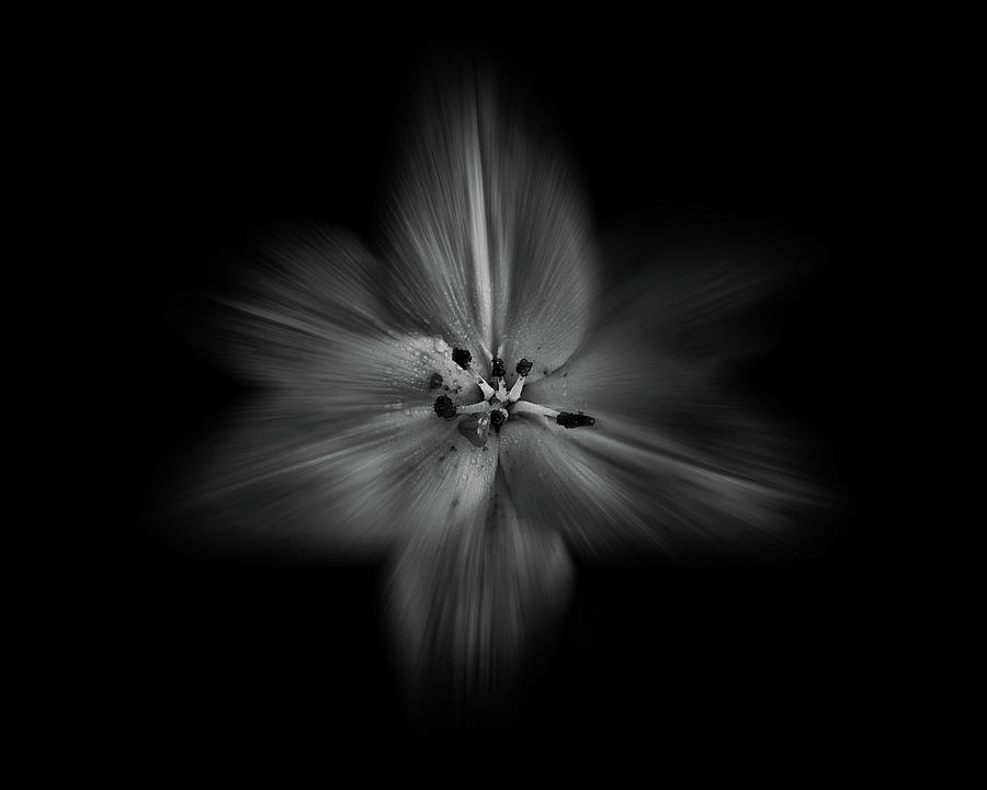 Backyard Flowers In Black And White 28 Flow Version Photograph