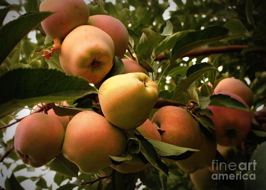 Apples Photograph - Backyard Garden Series - Apples Cluster by Carol Groenen