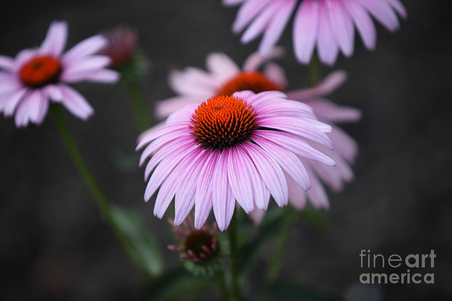 Cone Flower Photograph - Backyard Wonders by Amanda Barcon