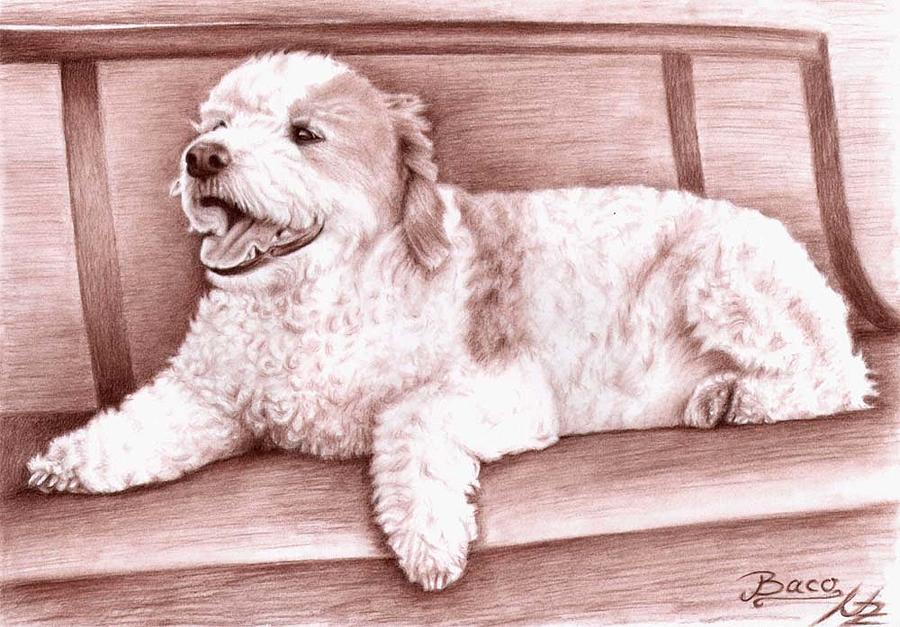 Dog Drawing - Baco by Nicole Zeug