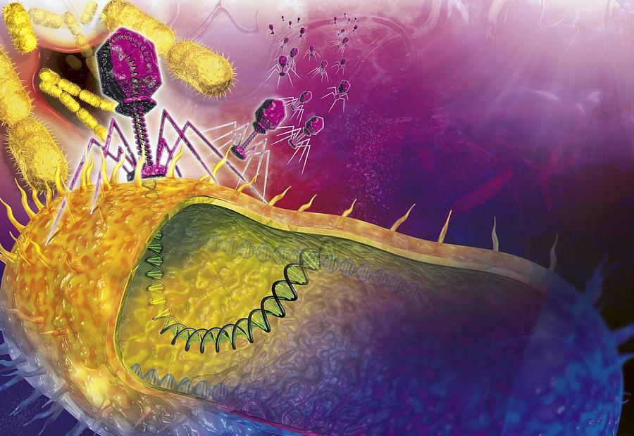 Bacteria Photograph - Bacteriophages Attacking Bacteria by Claus Lunau