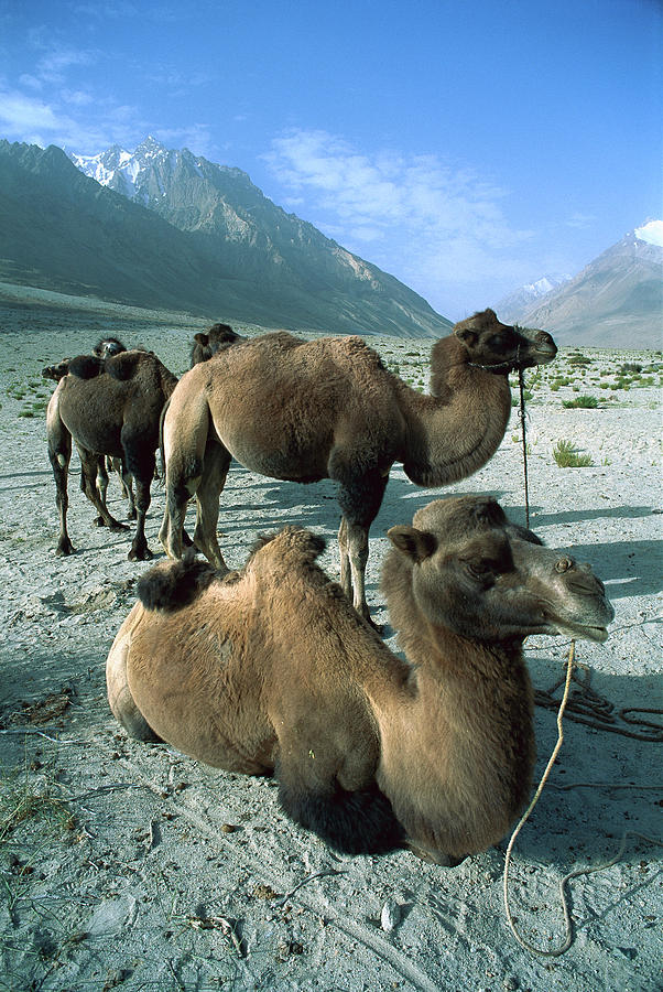 Bactrian Camel Camelus Bactrianus Group Photograph by Colin Monteath