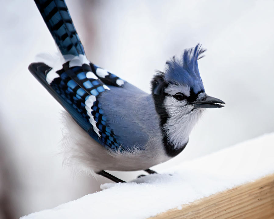 Blue Photograph - Bad feather day by Al  Mueller