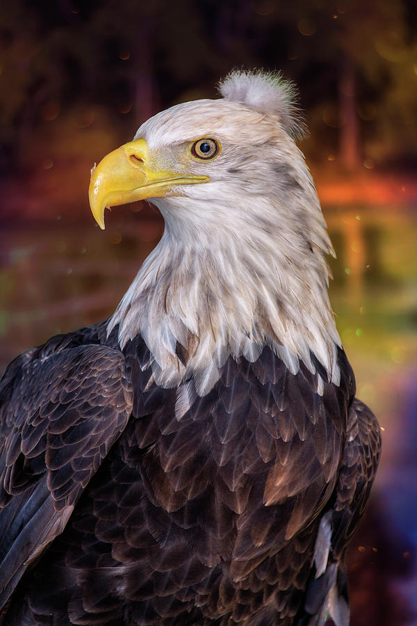 Bad Hair Day Bald Eagle by Bill Tiepelman