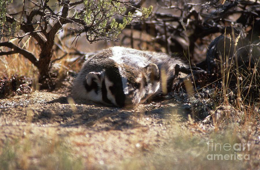 Badger Photograph