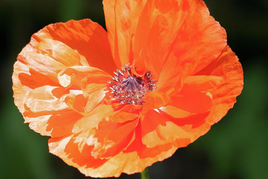 Oriental Poppy Photograph - Baileys Poppy by Heidi Brandt