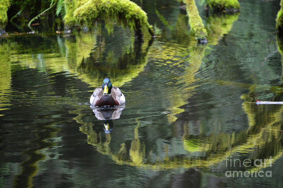 Bainbridge Duck by Bob Senesac