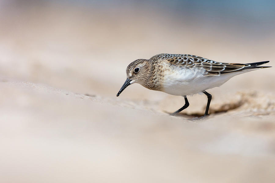 Indiana Photograph - Bairds Sandpiper by Mike Timmons