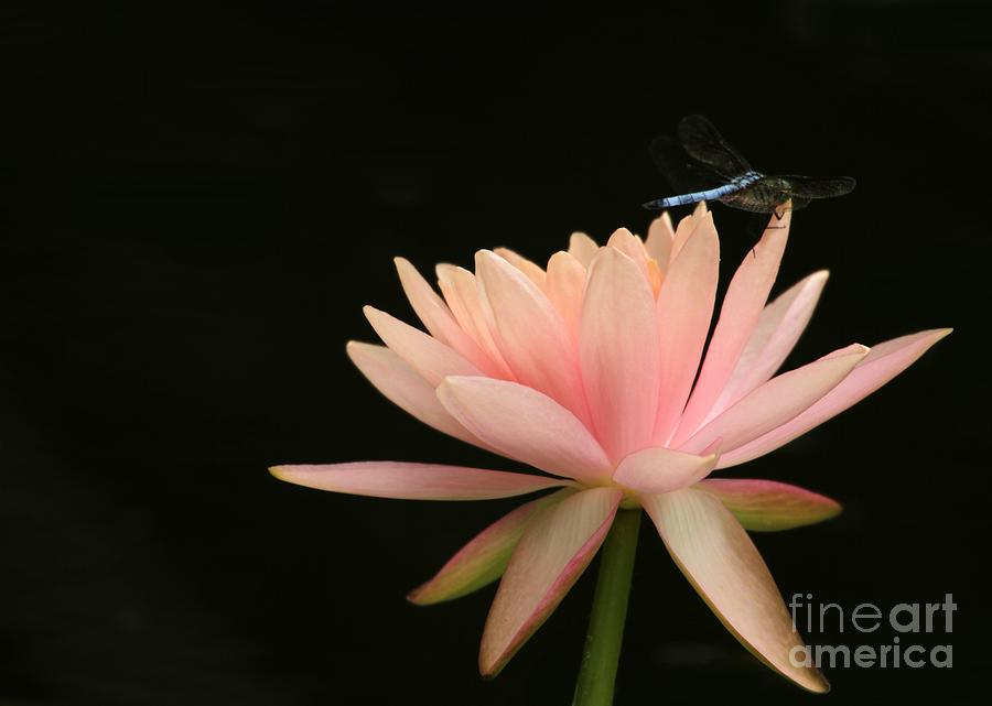 Water Lily Photograph - Balance by Sabrina L Ryan