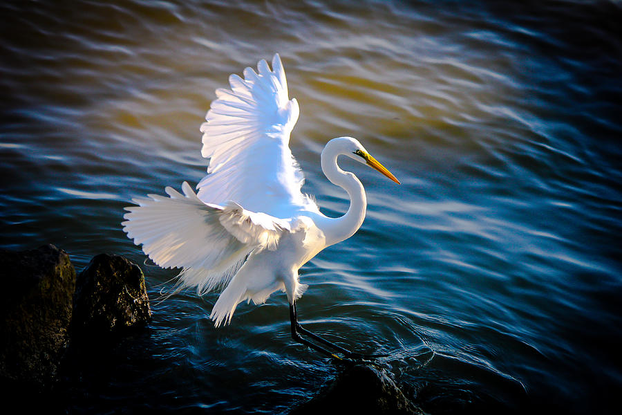 Balancing Act  Great White Egret Photograph