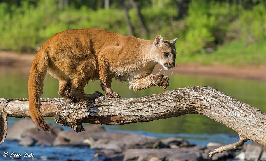 Cougar Photograph - Balancing Act by Steven Szabo