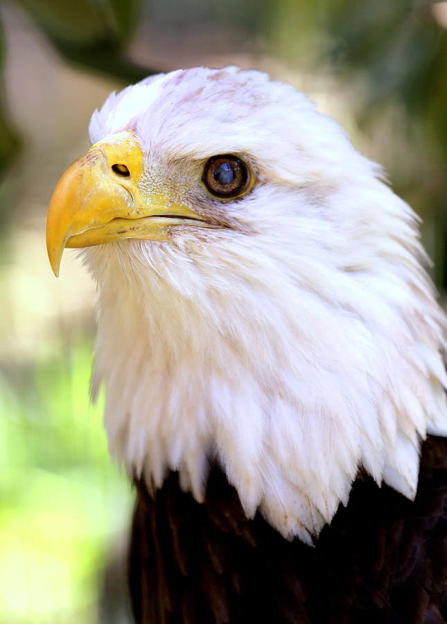 Bald Eagle Photograph - Bald Eagle 1 by Imagery-at- Work