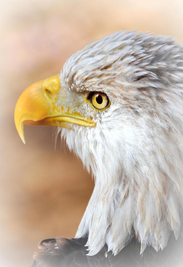 Eagle Photograph - Bald Eagle 15 by Marty Koch