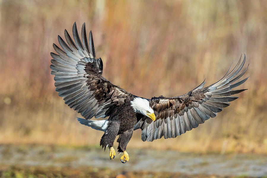 Bald Eagle 2 by Mike Centioli