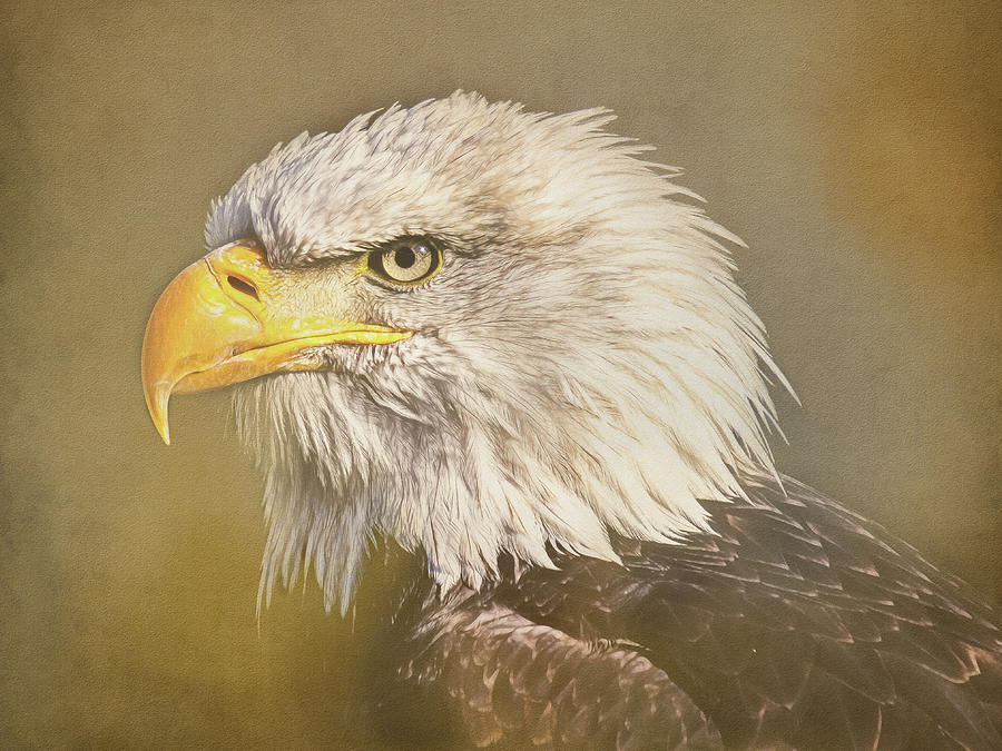 Bald Eagle 2 by Roy Pedersen