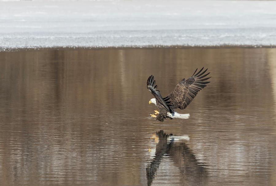 American Bald Eagle Photograph - Bald Eagle 2018-2 by Thomas Young