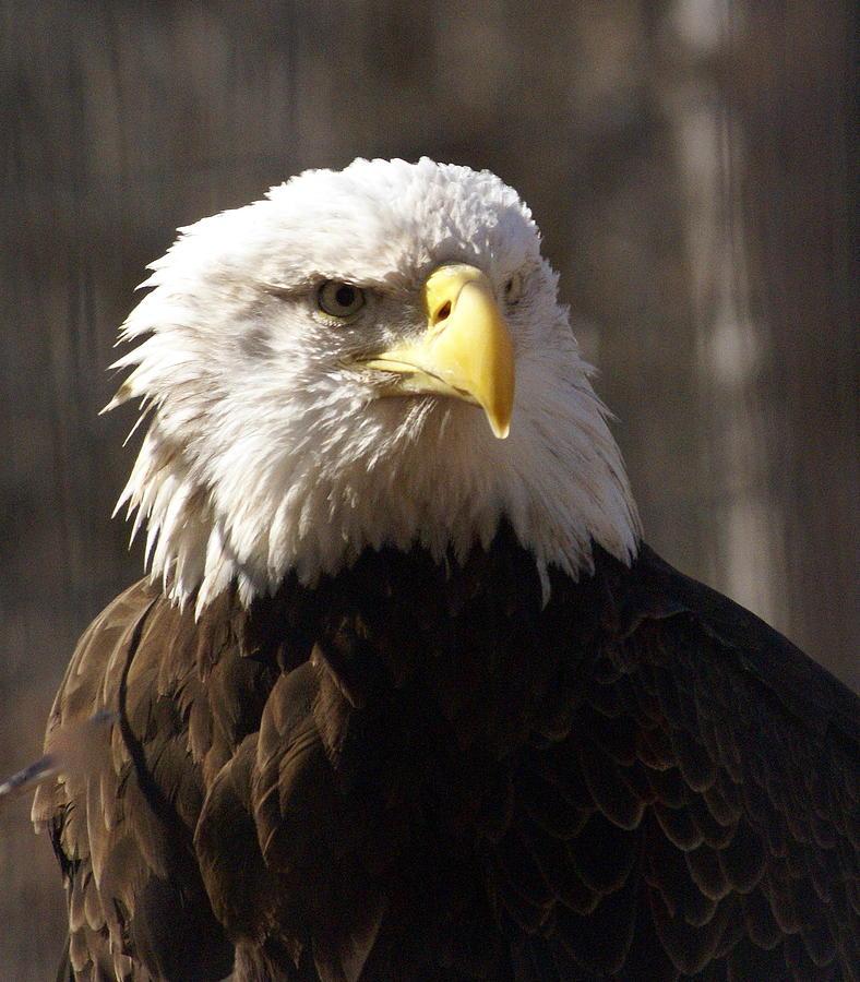 Birds Photograph - Bald Eagle 5 by Marty Koch