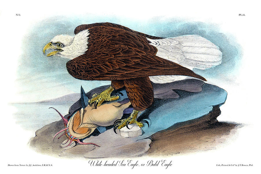 Bald Eagle Painting - Bald Eagle Audubon Birds Of America 1st Edition 1840 Royal Octavo Plate 14 by Orchard Arts