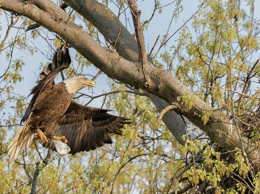 Bald Eagle Photograph - Bald Eagle Catch Of The Day  by Richard Kopchock