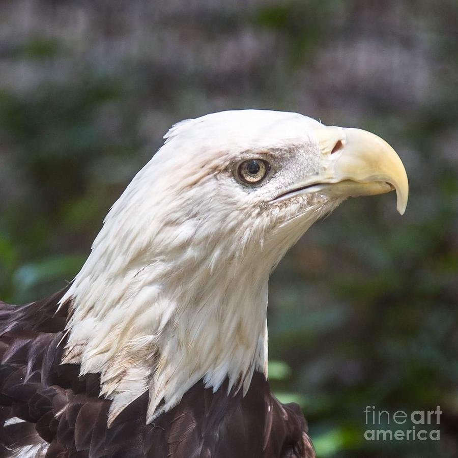 Bald Eagle Photograph - Bald Eagle Close Up by Noel Adams