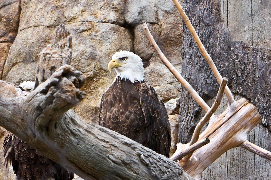 Bald Eagle Photograph - Bald Eagle by Douglas Barnett