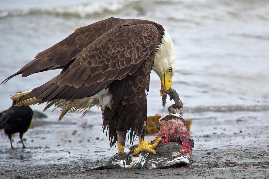 what fish do bald eagles eat