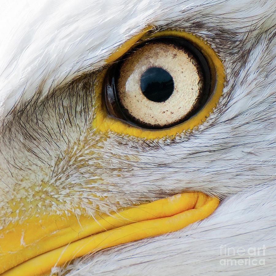 Bald Eagle Eye