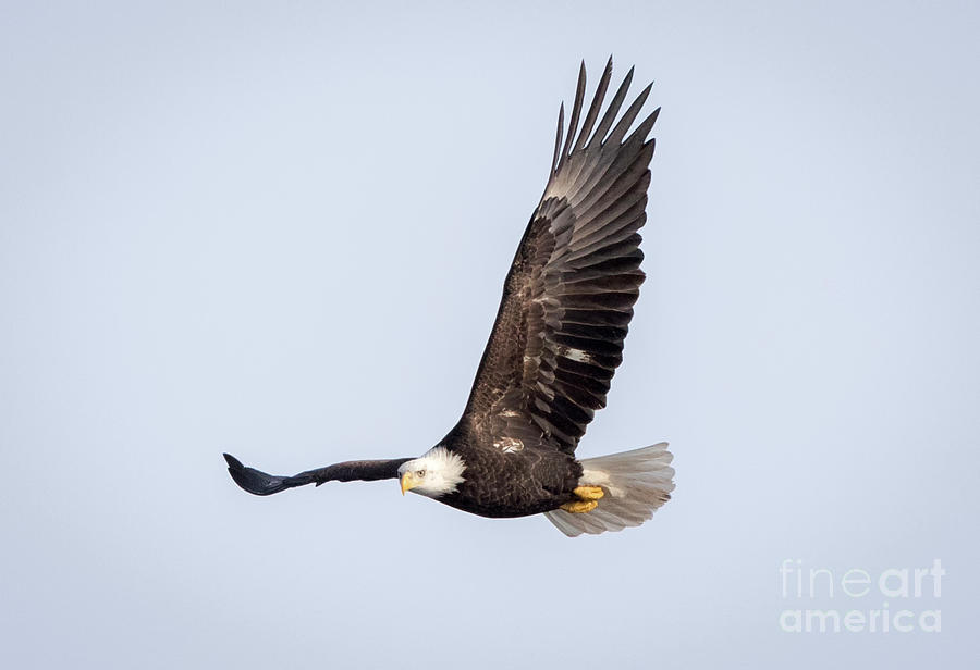 Canon Photograph - Bald Eagle Flying Over Horicon Marsh by Ricky L Jones