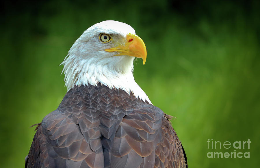 Bald eagle by Franziskus Pfleghart
