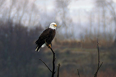 Wildlife Photograph - Bald Eagle by Gene Mace