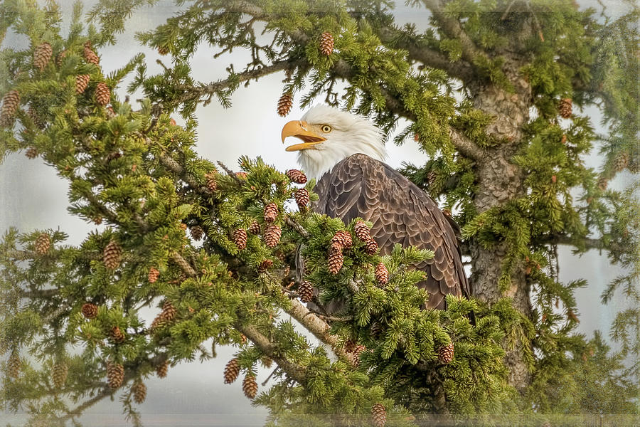 Bald Eagle Greeting by Vicki Stansbury