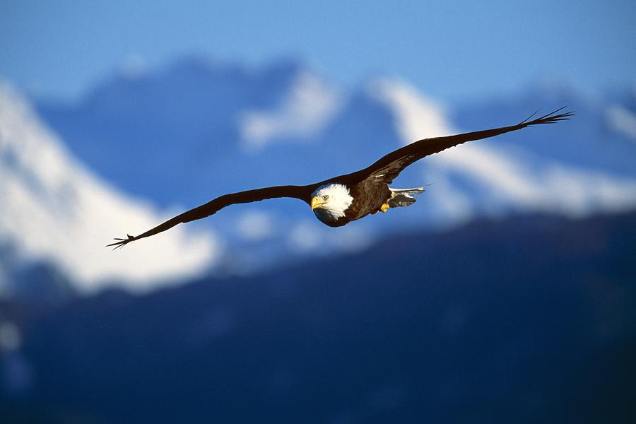Bald Eagle Photograph - Bald Eagle Haliaeetus Leucocephalus by Natural Selection David Ponton