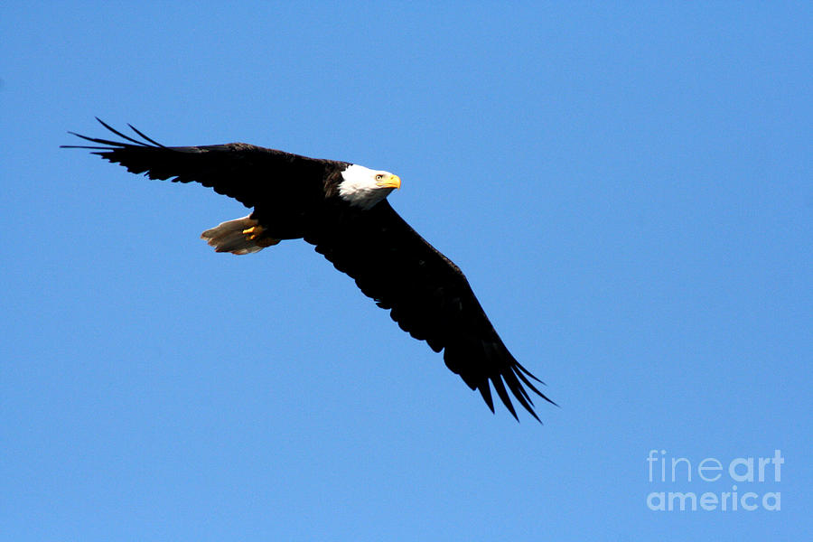 Eagle Photograph - Bald Eagle IIi by Thomas Marchessault