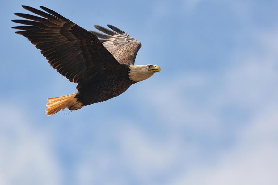 Jai Johnson Photograph - Bald Eagle In Flight 022720162916 by WildBird Photographs