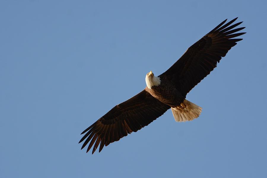 Jai Johnson Photograph - Bald Eagle In Flight 031520160008 by WildBird Photographs