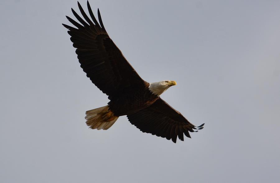 Bald Eagle In Flight 031520168774 Photograph