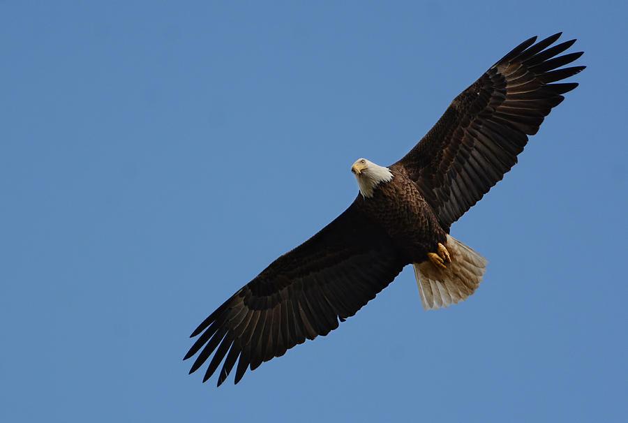 Jai Johnson Photograph - Bald Eagle In Flight 031520169113 by WildBird Photographs